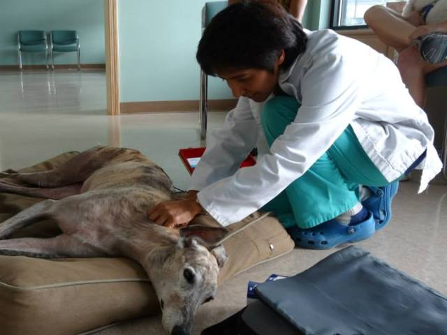 Dr. Barrett performs acupuncture on a senior dog for pain management.